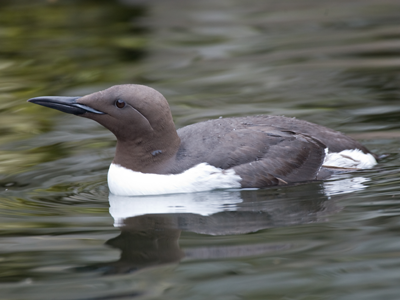 common Murre_markgarner